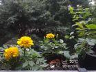 万寿菊和茉莉也相继开放,这几天能看的花还不太多
