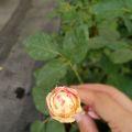 叶插苗和开花图