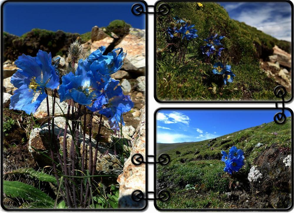 多刺绿绒蒿—摄于西藏雪格拉山0.jpg