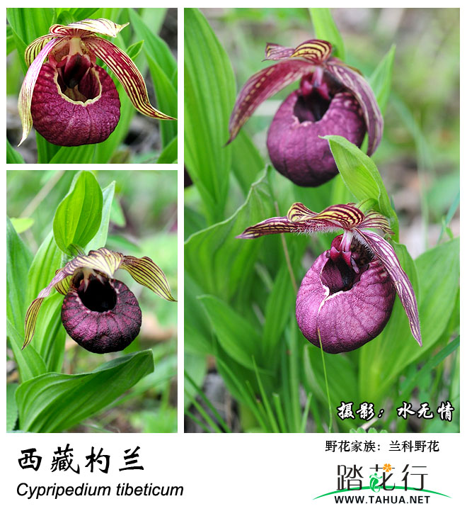 兰科-西藏杓兰.jpg