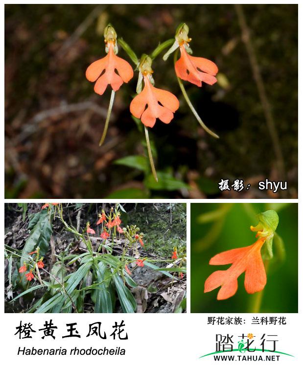 兰科-橙黄玉凤花.jpg