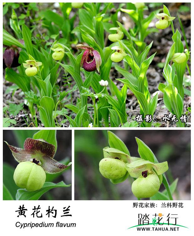 兰科-黄花杓兰.jpg