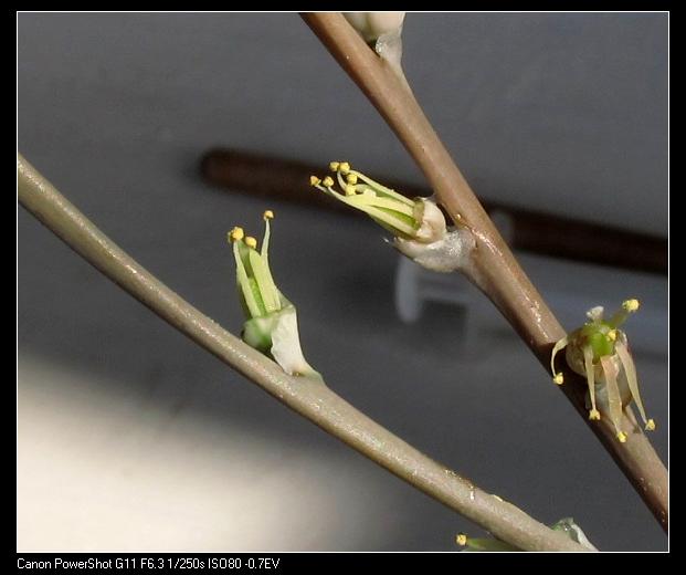 图6摘除花瓣准备互搓授粉的两朵花2.jpg