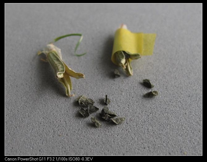 图16 成熟的种荚和种子.jpg
