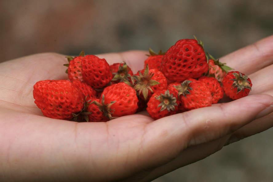 草莓属.jpg