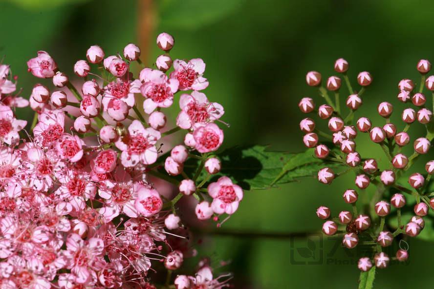 绣线菊属3.jpg