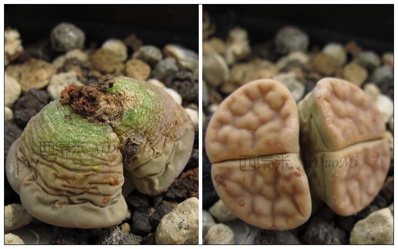 休眠期的生石花10.jpg