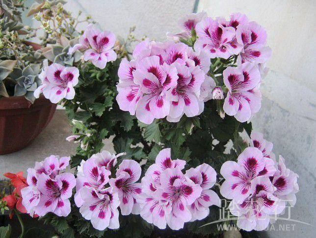 丁香2紫姬.jpg