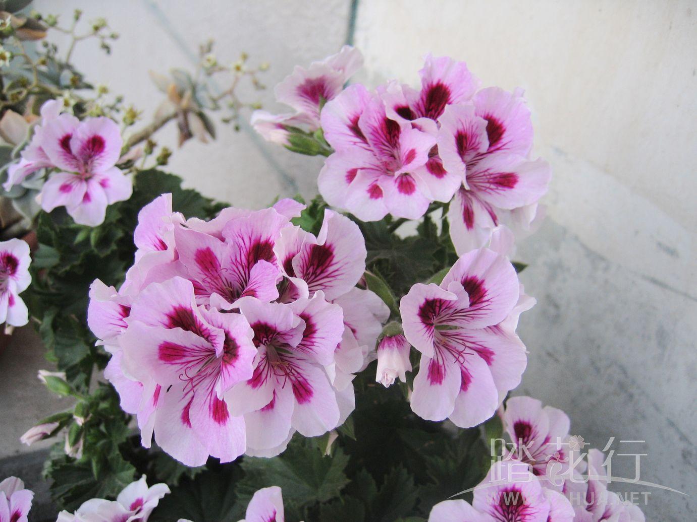 丁香3紫姬.jpg
