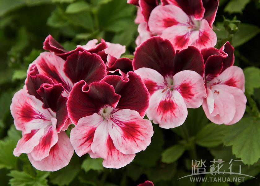 紫姬 路易斯1.jpg