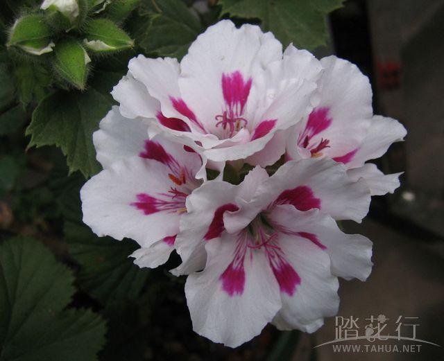紫姬王族2.jpg