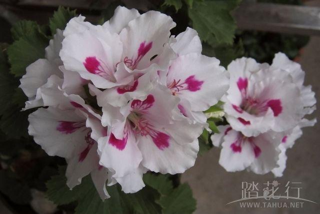 紫姬王族1.jpg
