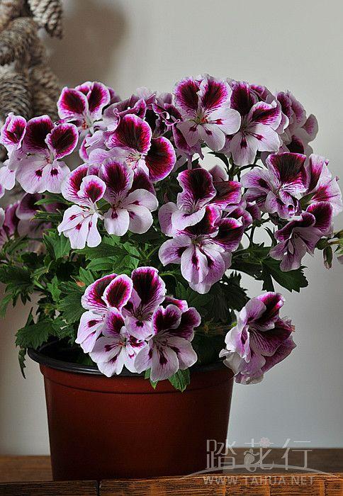 荻花 魔力紫3.jpg