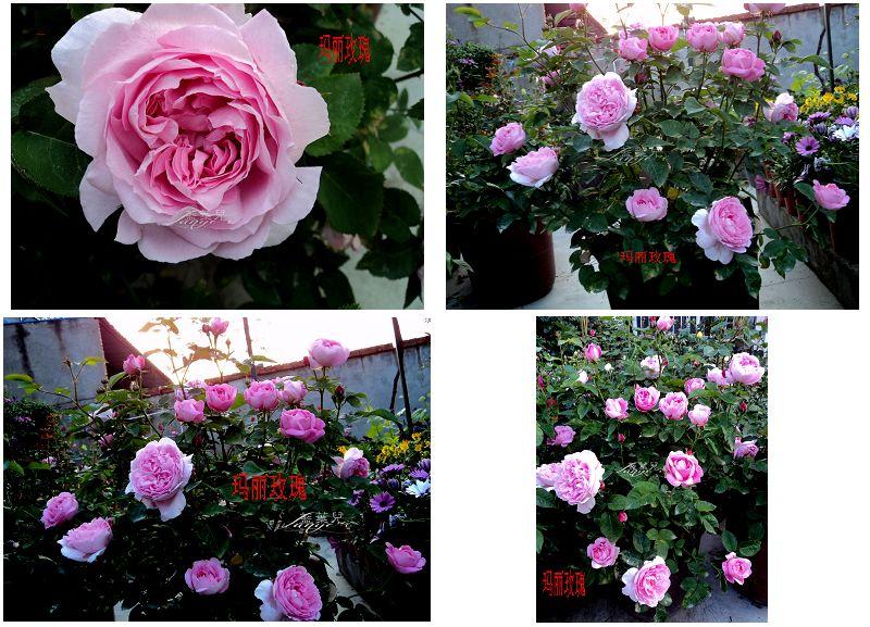 玛丽玫瑰.jpg