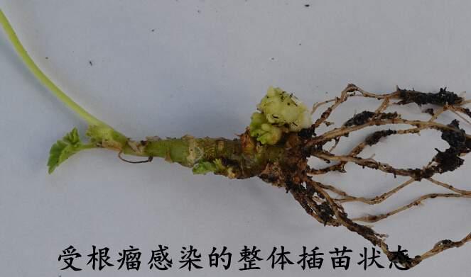 根瘤受影响的整体植株.jpg