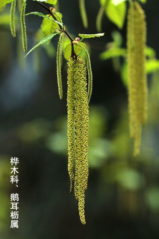 鹅耳枥属-九龙坪 (1).jpg