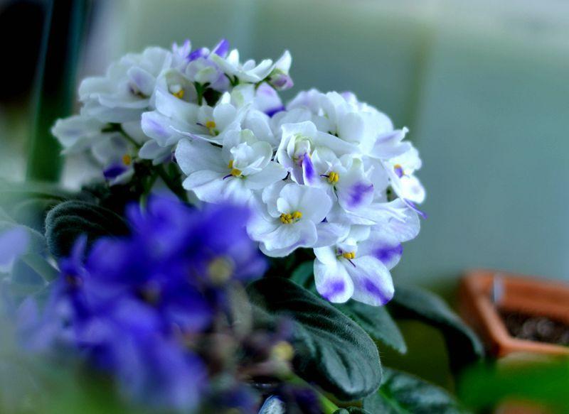 20140420非洲堇-紫白沾染.jpg