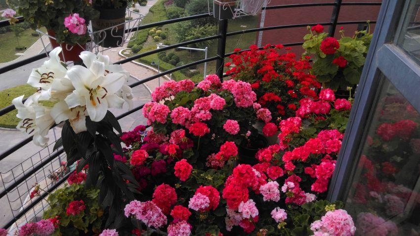 大花球品种和百合.jpg