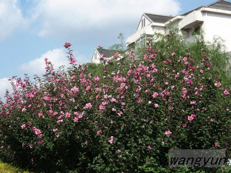 木槿花集锦—献给国庆67周年