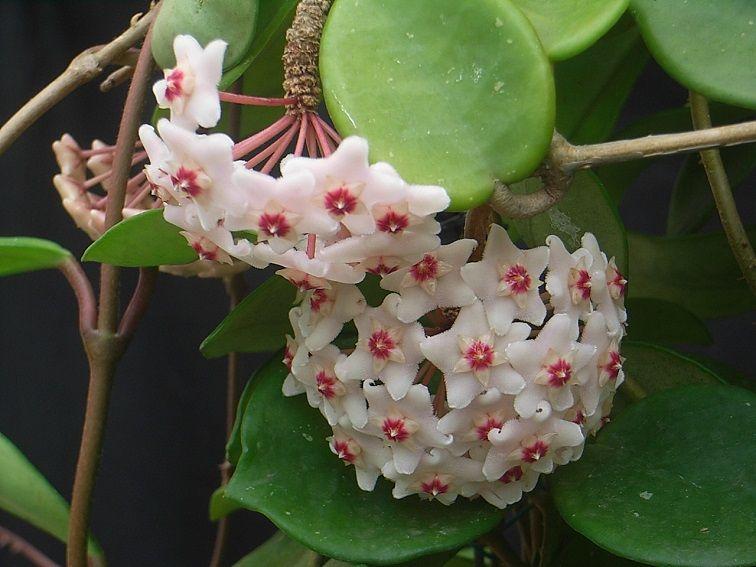 5-H.carnosa綠葉.jpg