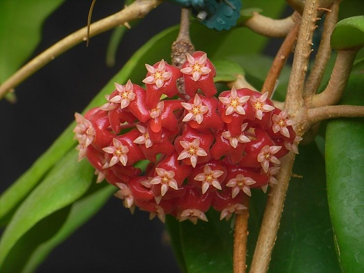 10-H.ilagiorum紅花.jpg