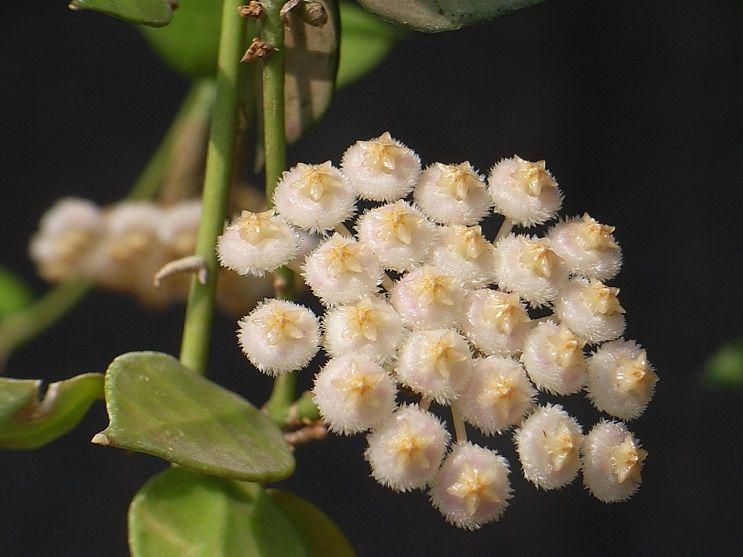 15-H.lacunosa裂瓣球兰.jpg