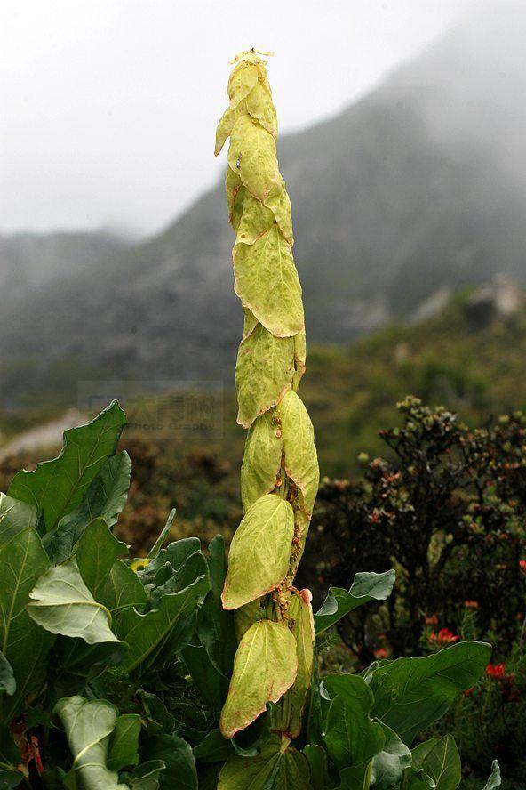 大黄属-苞叶大黄0.jpg