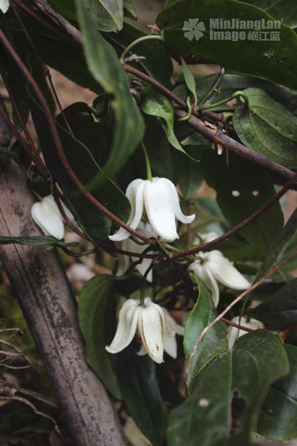 单叶铁线莲 Clematis henryi,洁白芬芳的小铃铛