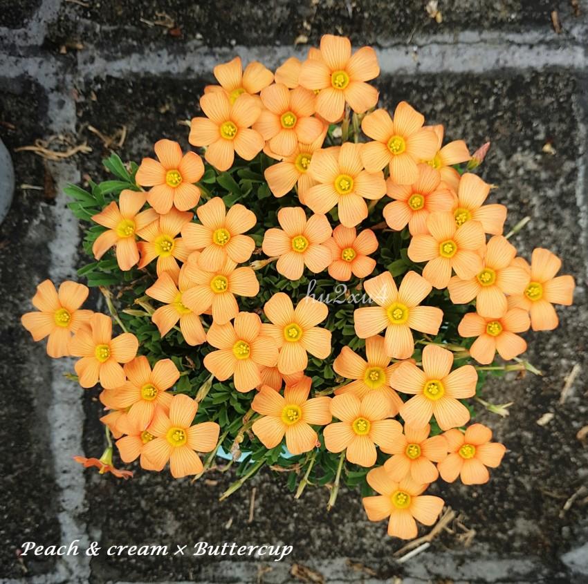 Peachcream×buttercup.jpg