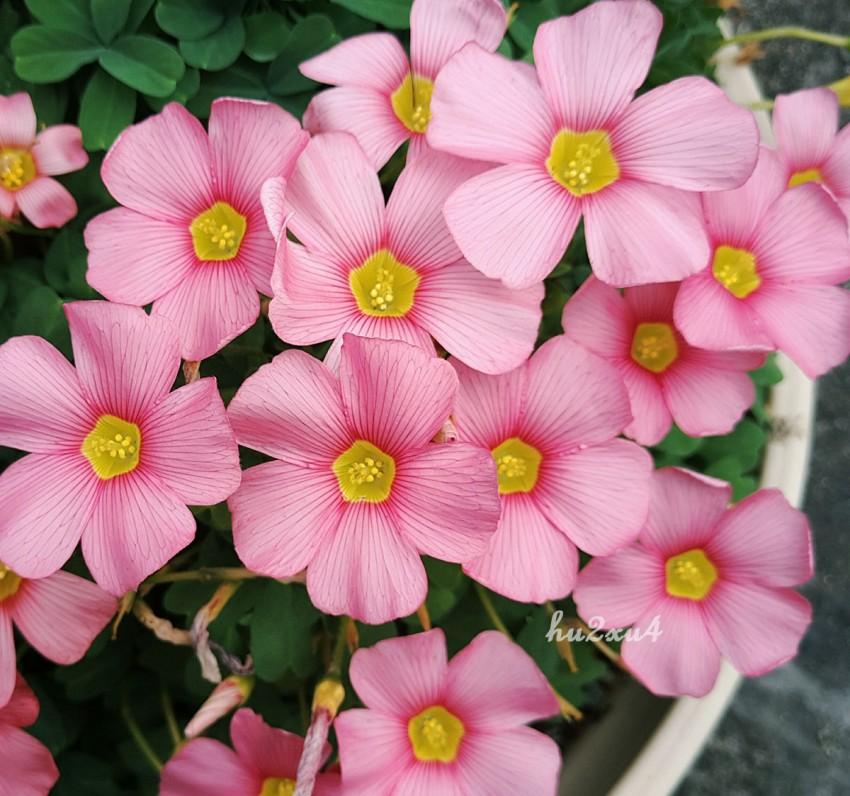 spring charm pink.jpg