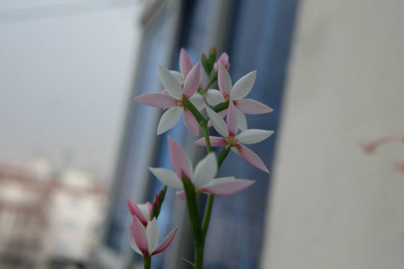 夜鸢尾Hesperantha cucullata pink——傍晚与夜里迷人的精灵~~~~