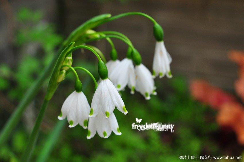 球根的春暖花开-雪片莲小苍兰花韭洋水仙葡风酢i