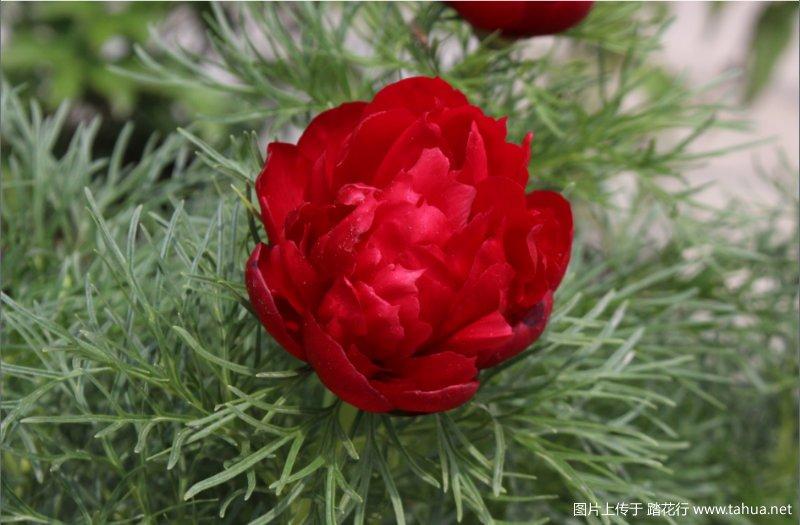 细叶芍药 Paeonia tenuifolia 'Rubra Flora Plena'