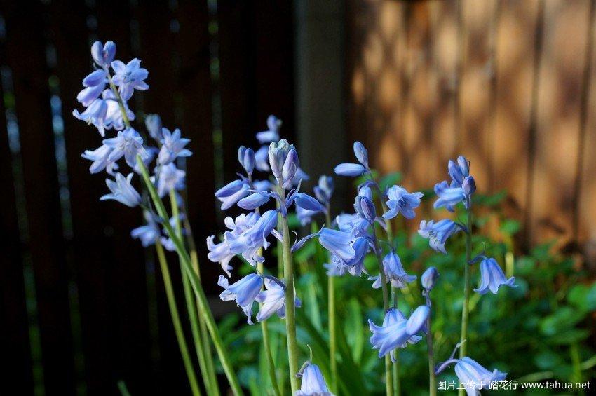 蓝铃花和老狐狸