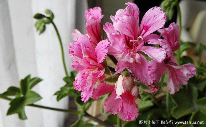康乃馨.jpg