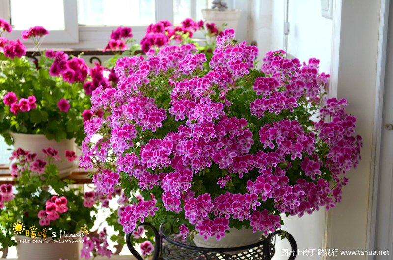 与粉红天使之眼相约的第三年,开爆了,不辜负每一个春天!!(附:种植记录)
