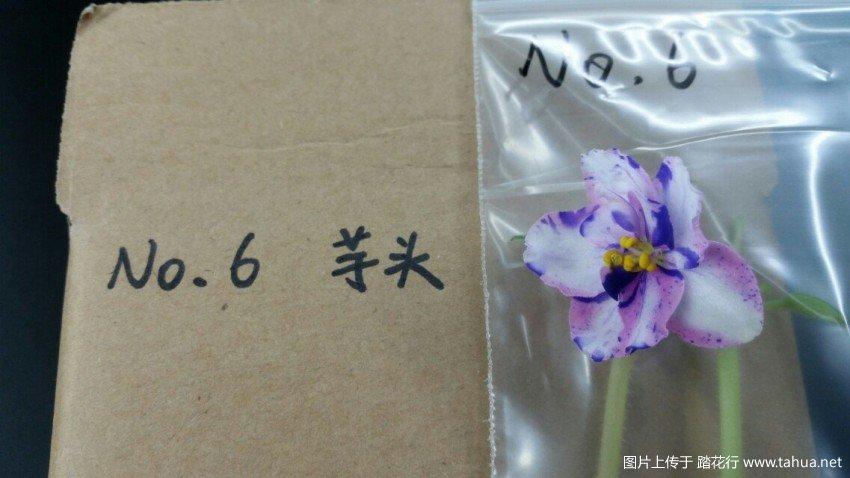 花梗扦插非洲堇