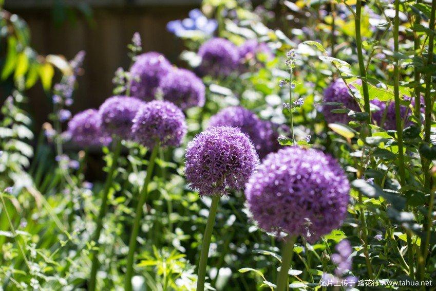 [踏花最强大花葱花境]我的五月花园