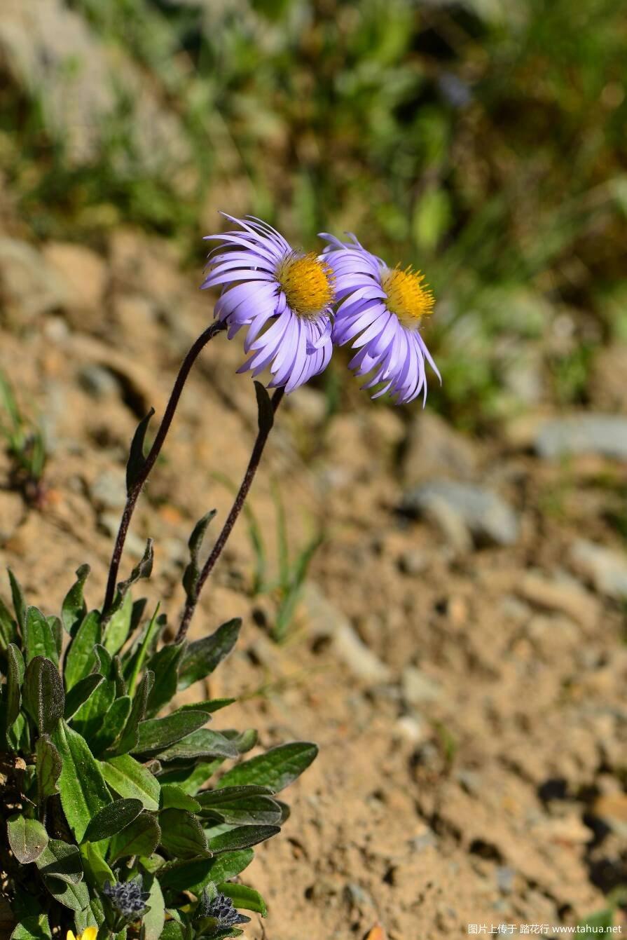 马阴山的高山野生观赏植物