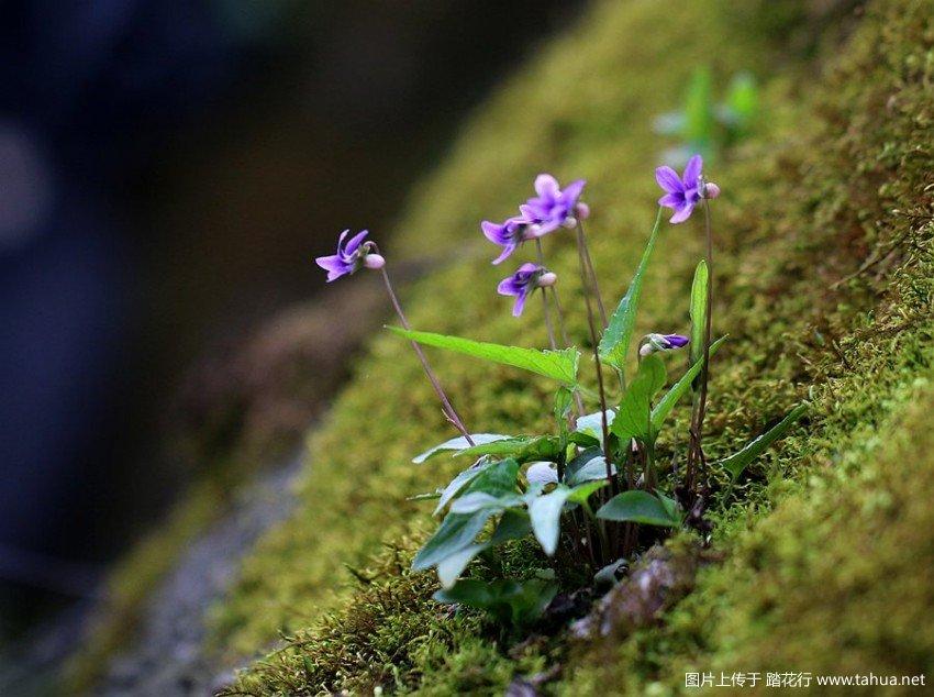 菫菜属-长萼堇菜 (1).jpg