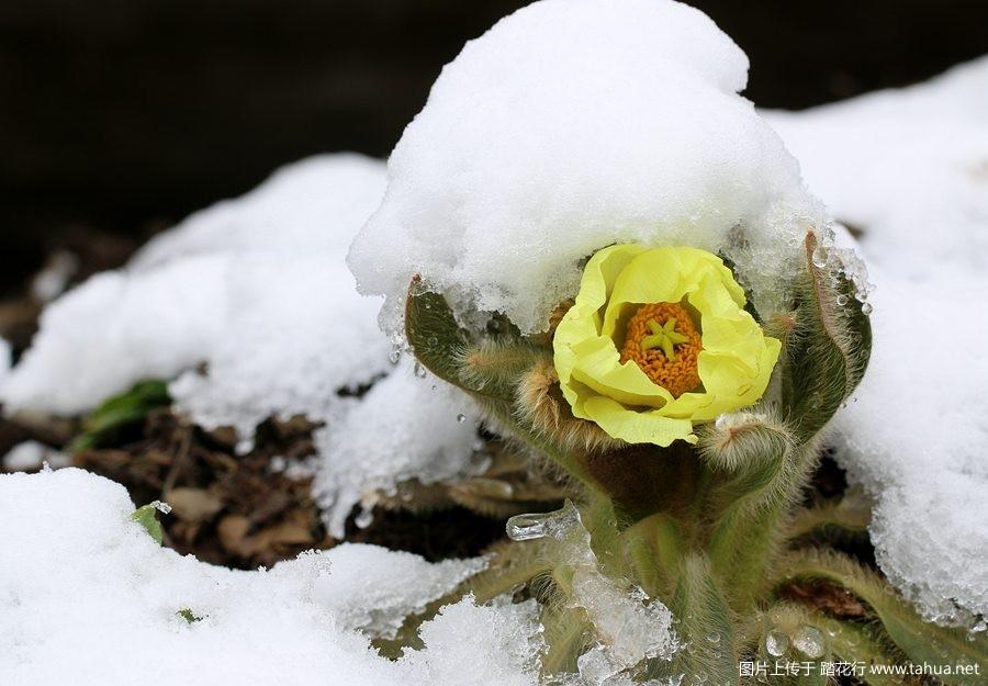 那些雪中绽放的高山野花