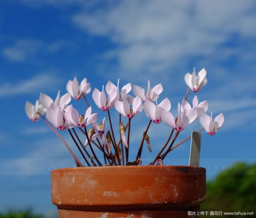 踏花行论坛_原生仙客来——西西里仙客来 - 观赏植物 - 踏花行花卉论坛-家庭 ...