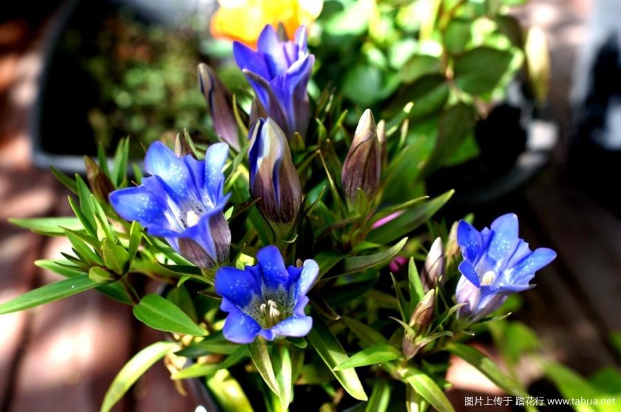 龙胆花——那美丽的靛蓝色