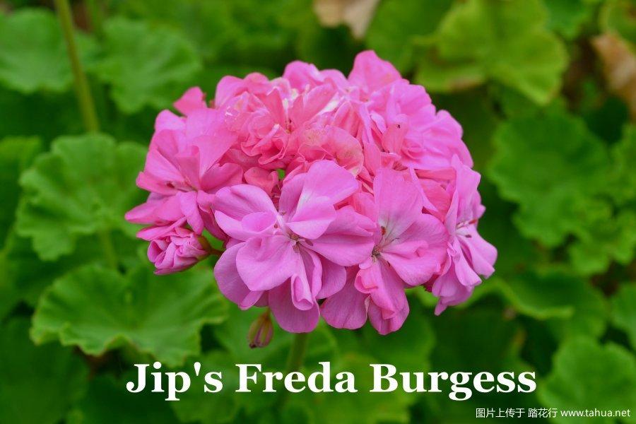 Jip's Freda Burgess 1.jpg