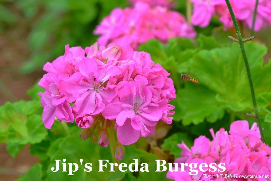 Jip's Freda Burgess 2.jpg