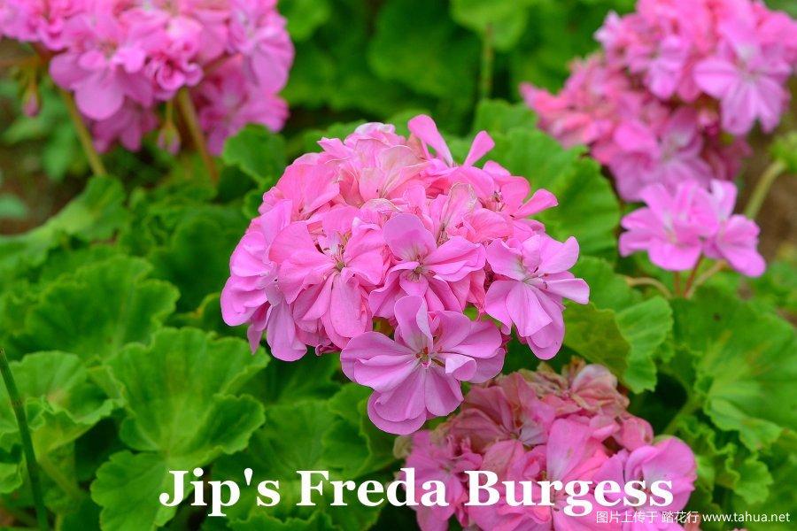Jip's Freda Burgess 3.jpg