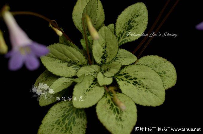 Primulina Cat's Spring3_副本.jpg