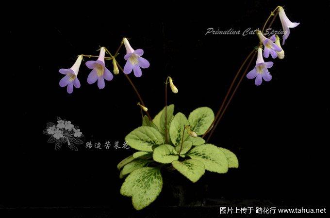 Primulina Cat's Spring1_副本.jpg