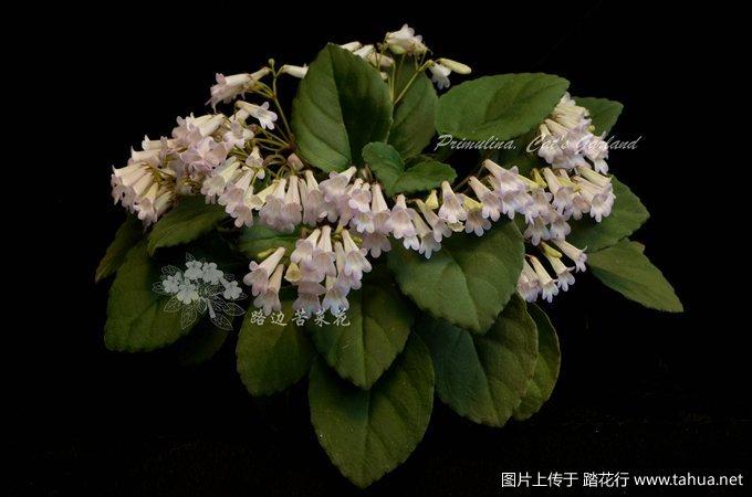 Primulina Cat's Garland 1_副本.jpg