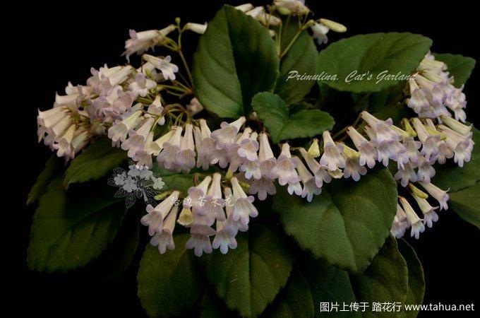 Primulina Cat's Garland 2_副本.jpg